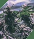Cannabis plants in a drug lab