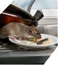 a rat eats from a plate in a messy home